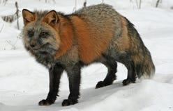 在雪的十字架Fox 免版税库存照片