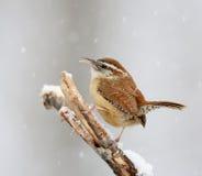 在雪的卡罗来纳州鹪鹩 库存图片