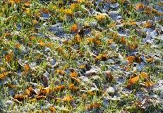 在雪的叶子在草在秋天与早期的降雪在早晨 图库摄影