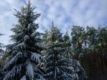 在雪的圣诞树 Polesya 乌克兰 2017年 免版税库存照片