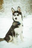 在雪的多壳的小狗 库存图片