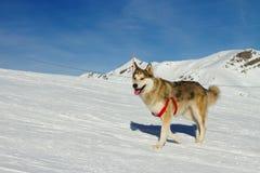 在雪的多壳的狗 库存图片