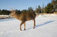 在雪的大型装配架鹿 免版税库存照片