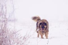 在雪的大护羊狗 免版税库存图片