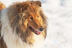 在雪的大牧羊犬狗 免版税库存图片