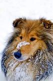 在雪的大牧羊犬狗 免版税库存照片