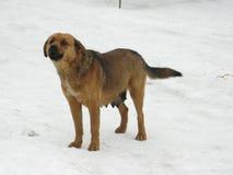 在雪的大狗 免版税库存照片
