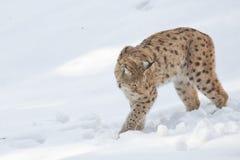 在雪的天猫座 免版税库存照片