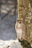 在雪的天猫座 库存图片