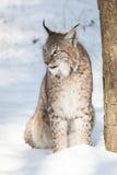 在雪的天猫座 库存照片