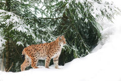 在雪的天猫座 免版税库存图片