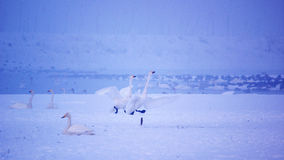 在雪的天鹅 库存照片
