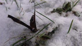 在雪的孔雀铗蝶 股票录像