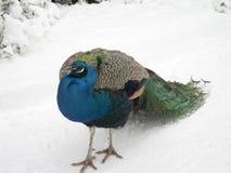 在雪的孔雀,特写镜头 库存图片