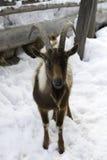 在雪的孤独的常设棕色山羊 免版税图库摄影
