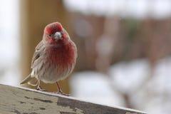 在雪的室内燕雀 免版税库存图片