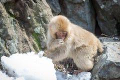 在雪的害羞的猴子 库存照片