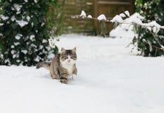 在雪的家猫 免版税库存图片