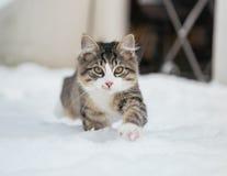 在雪的家猫 免版税库存照片