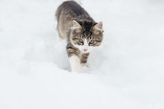 在雪的家猫 库存图片