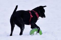 在雪的小狗 库存图片
