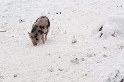 在雪的小的越南猪 图库摄影