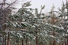 在雪的小的绿色杉树 库存照片