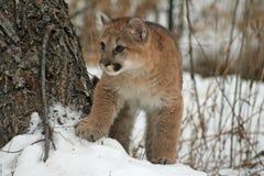 在雪的小美洲狮 免版税图库摄影