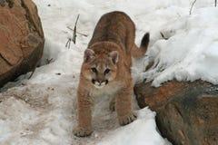 在雪的小美洲狮 免版税库存图片