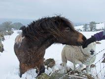 在雪的小马在北爱尔兰 免版税图库摄影