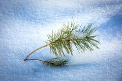 在雪的小绿色杉木早午餐 图库摄影