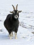 在雪的山羊 库存图片