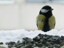 在雪的山雀 库存图片