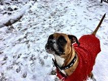 在雪的布朗狗 免版税库存图片