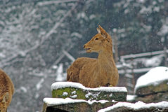 在雪的布朗绵羊在bifengxia集中 免版税库存图片