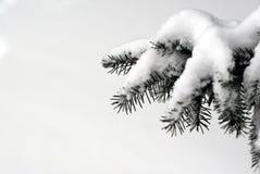 在雪的常青分支 库存图片