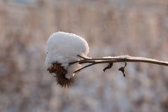 在雪的干燥分支蓟 库存图片