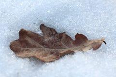 在雪的干燥橡木叶子 免版税库存照片
