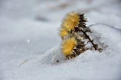 在雪的干燥黄色花 库存图片