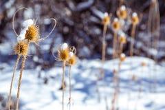 在雪的干燥spikey蓟 免版税库存图片