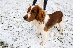 在雪的幼小威尔士猎Z 免版税库存图片