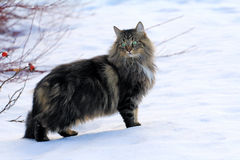 在雪的幼小挪威森林猫 免版税库存照片