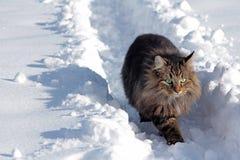 在雪的幼小挪威森林猫 库存图片