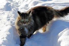 在雪的幼小挪威森林猫 免版税库存图片