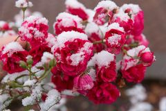 在雪的庭院玫瑰 图库摄影