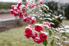 在雪的庭院玫瑰 库存图片