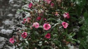 在雪的开花康乃馨 影视素材