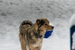 在雪的德国牧羊犬混合 免版税库存图片