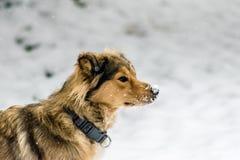 在雪的德国牧羊犬混合 库存图片