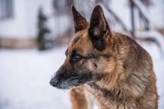 在雪的德国牧羊犬狗 库存图片